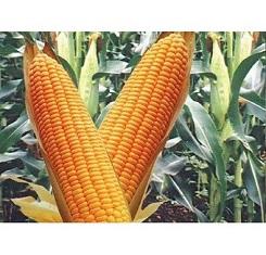 Семена кукурузы, Патриция, ФАО 300