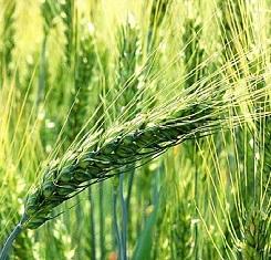 купить Озимая пшеница МИРЛЕНА, Элита