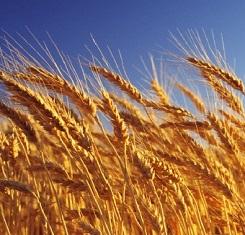 озимая пшеница ермак 1