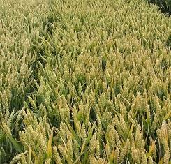 купить Озимая пшеница, Краснодарская Селекция, ГРАФ, 1 Репродукция