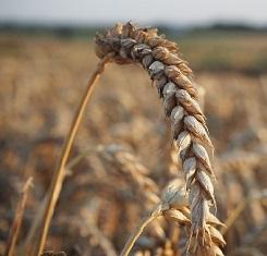 купить Озимая пшеница ТУРАНУС, Saatbau, 1 Репродукция