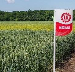 купить Озимая пшеница МЕСКАЛЬ, Лимагрейн, Элита