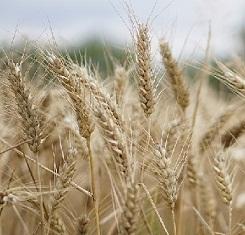 купить Озимая пшеница ЛУПИДУР, Saatbau, 1 Репродукция