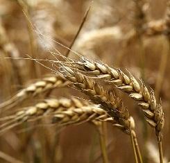 купить Озимая пшеница ГАЛЛИО, Австрия, 1 Репродукция