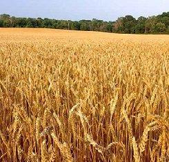 озимая пшеница краснодарская селекция