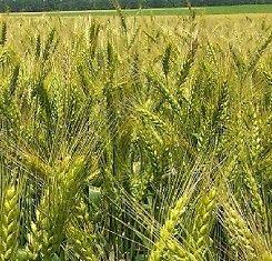 краснодарская селекция озимая пшеница
