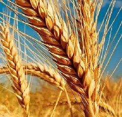 купить Озимая пшеница, Краснодарская Селекция, БЕЗОСТАЯ 100, 1 Репродукция