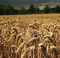 Озимая пшеница СКАГЕН, Saaten Union, 1 Репродукция
