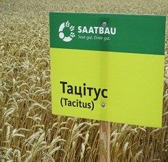 купить Озимая пшеница ТАЦИТУС, Saatbau, 1 Репродукция