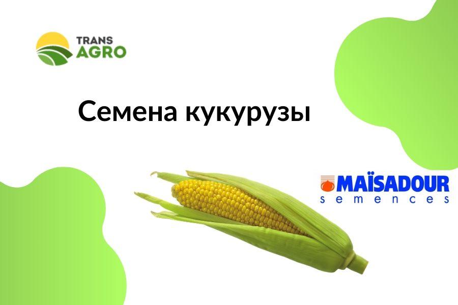 купить семена кукурузы Maisadour (Майсадур)