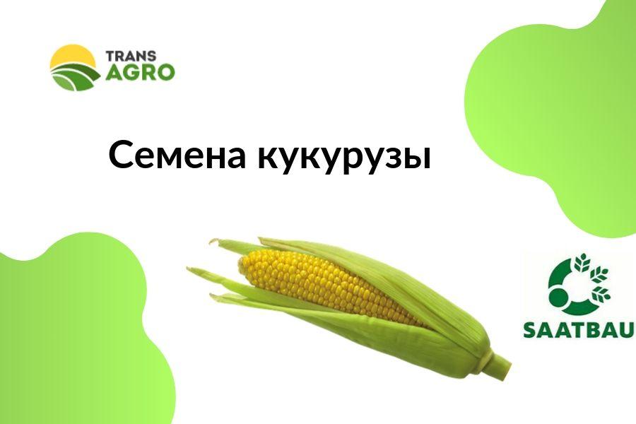 купить семена кукурузы Saatbau (Заатбао)