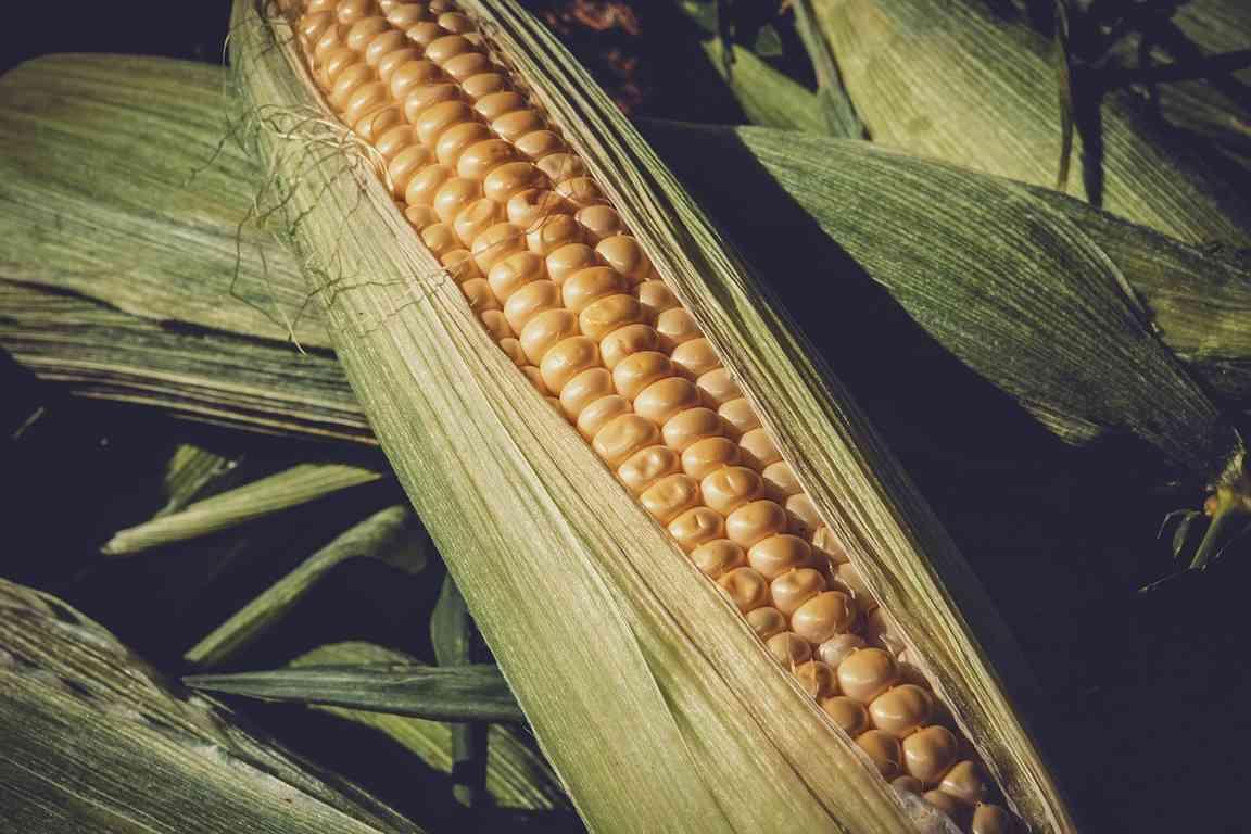 купить семена сахарной кукурузы