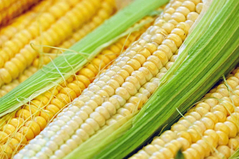 купить семена кукурузы оптом