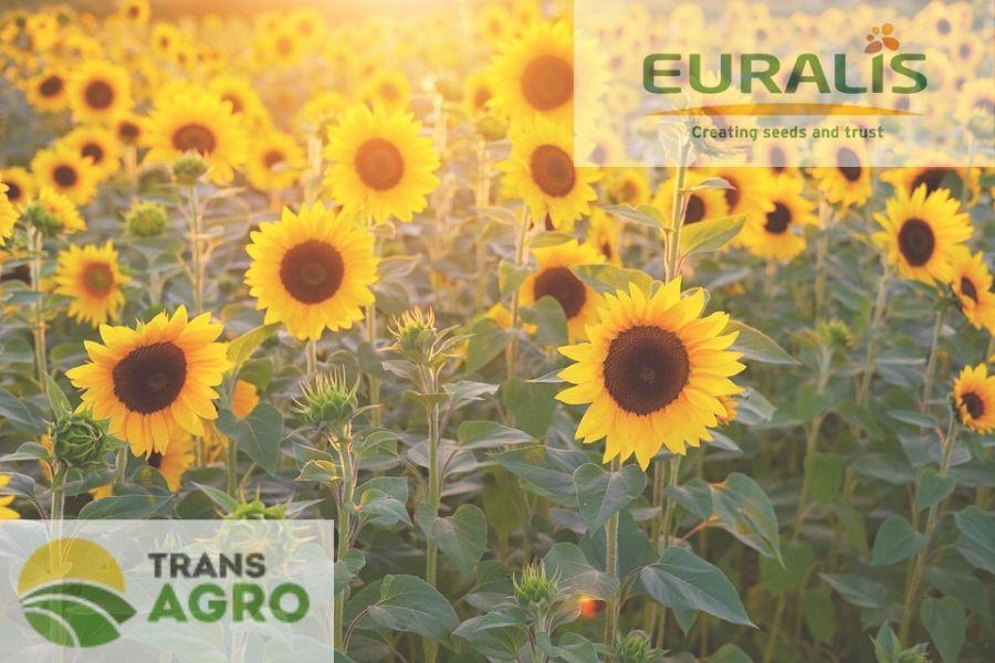 купить семена подсолнуха евралис