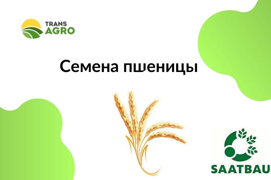 купить семена яровой пшеницы Заатбау (Saatbau)
