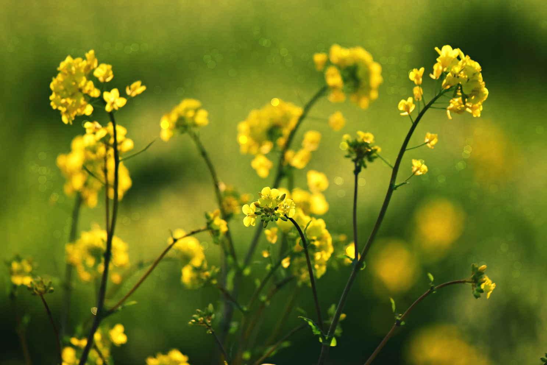 купить семена рапса озимого Украина