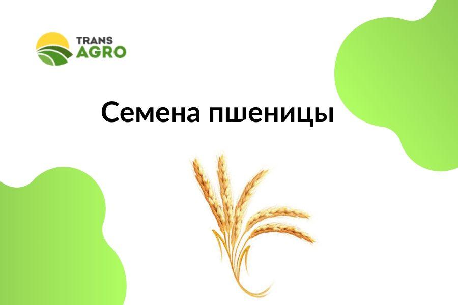 купить семена пшеницы зарубежных селекций в украине
