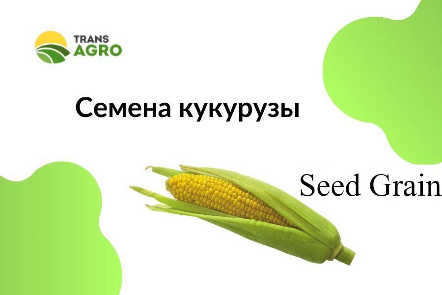 купить семена кукурузы Seed Grain (Сид Грэин)