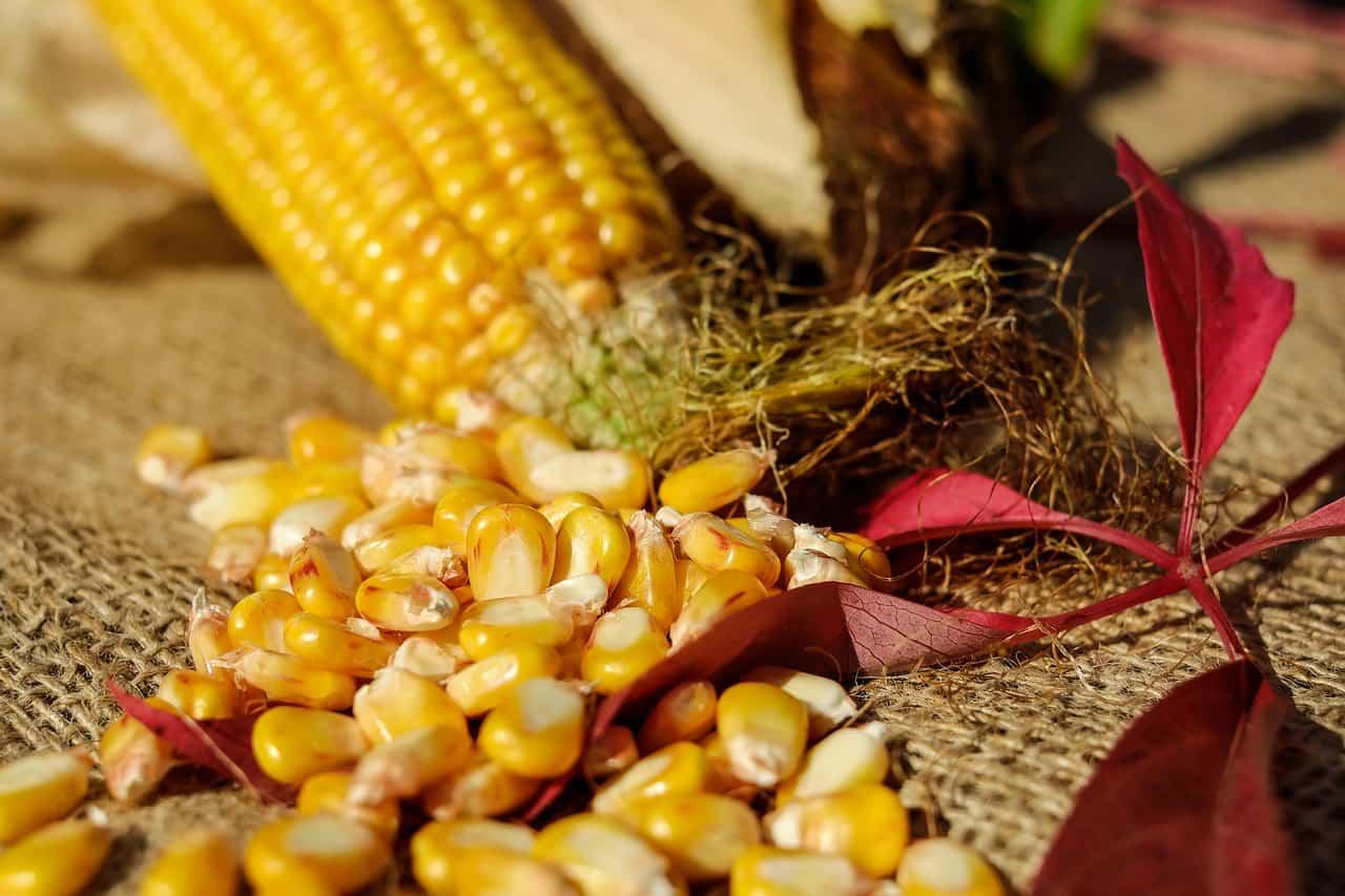 Купить лучшие сорта кукурузы в украине