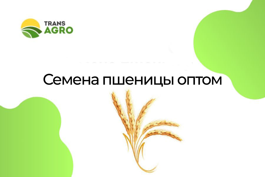купить семена пшеницы оптом