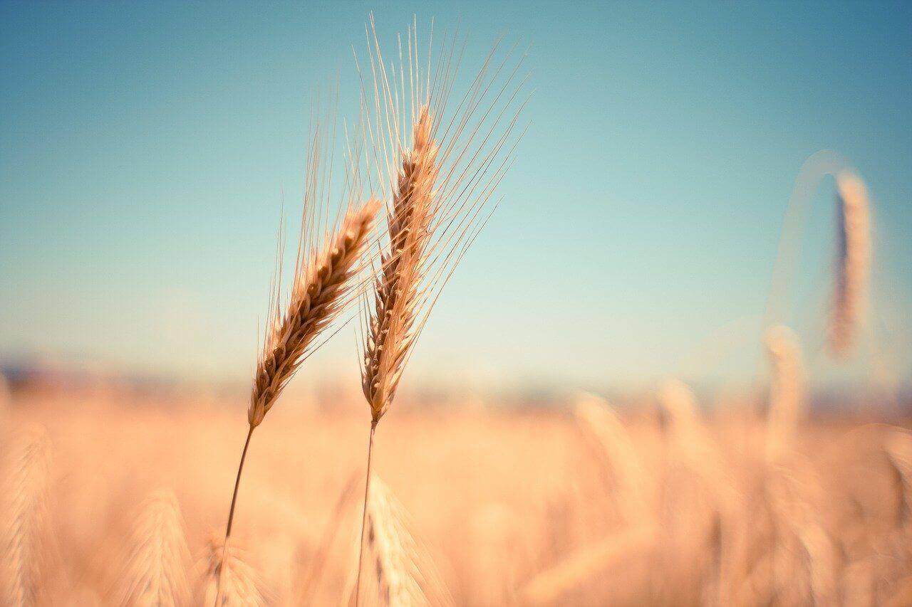 семена пшеницы оптом Украина